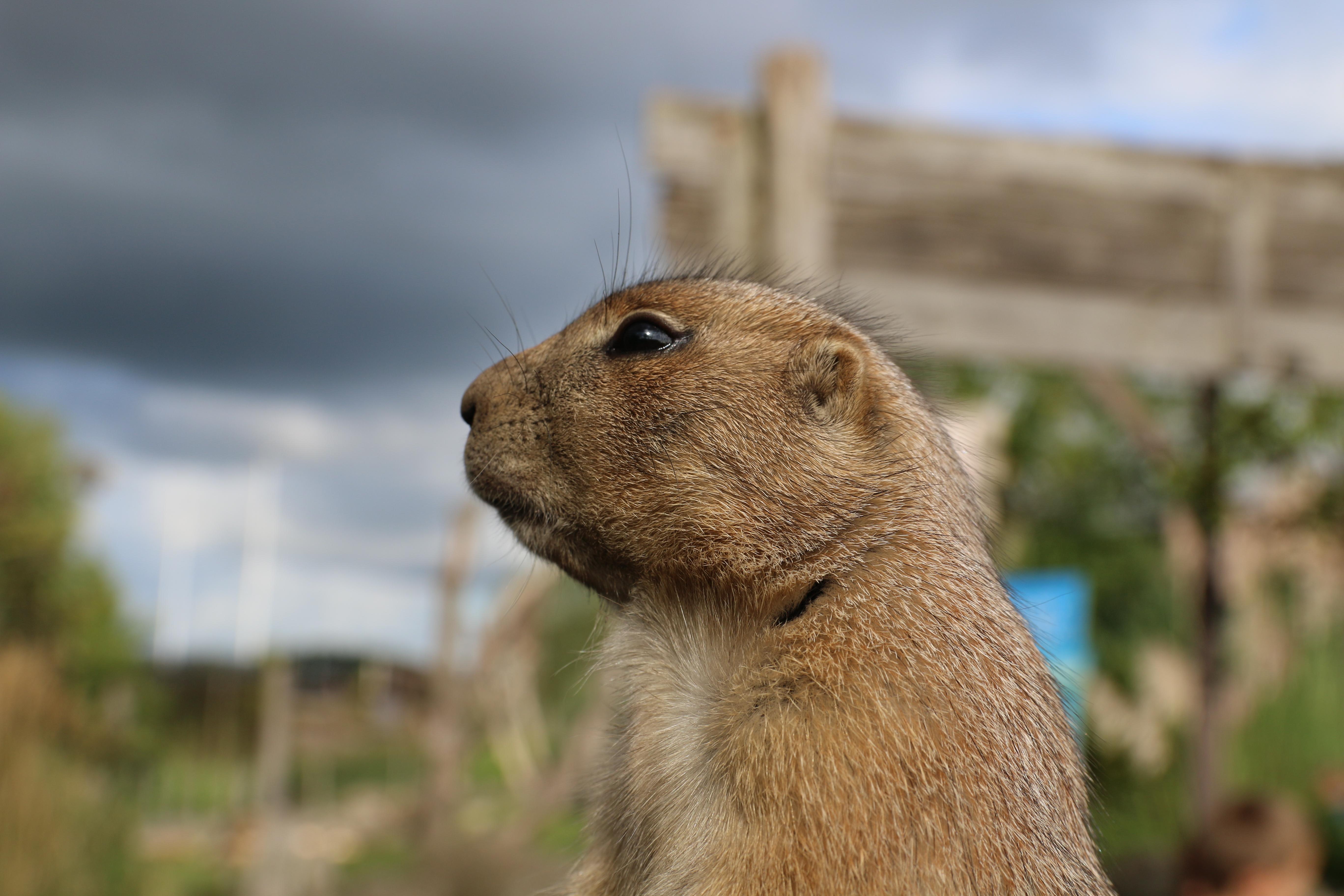 Fotografie in de dierentuin, een stokstaartje in diergaarde Blijdorp, gefotografeerd met Canon 70D